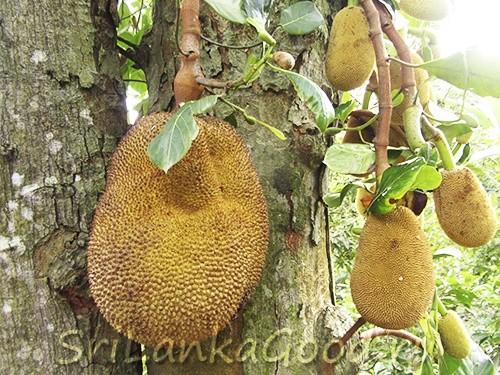 Самый большой фрукт в мире