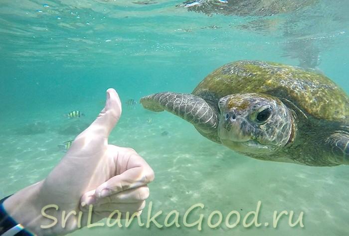 Черепахи в Шри-Ланке