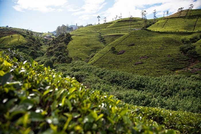 Чайная плантация в Канди